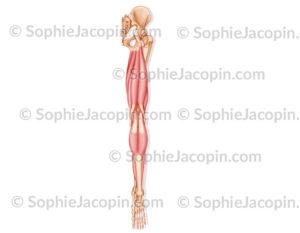 Muscles postérieurs jambe