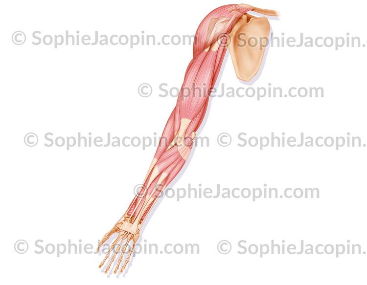 Muscles antérieurs bras