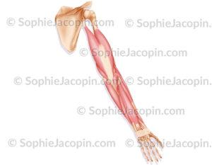 Muscles postérieurs bras