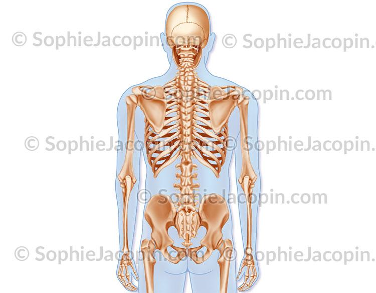 Squelette dos
