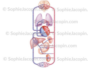 Schéma système circulatoire