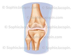 Articulation du genou