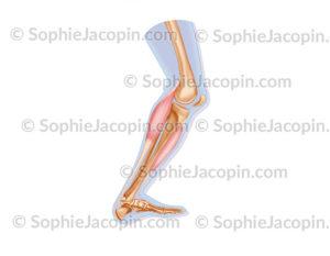Flexion de la jambe