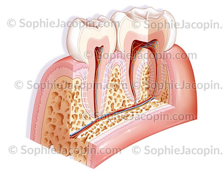 Anatomie des dents