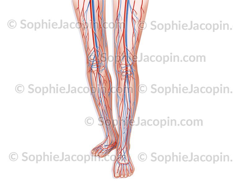 Circulation sanguine membres inférieurs