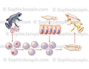 Expérience amphibien