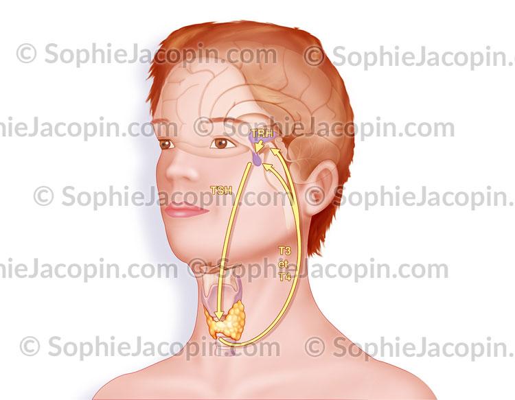 Fonctionnement glande thyroïde