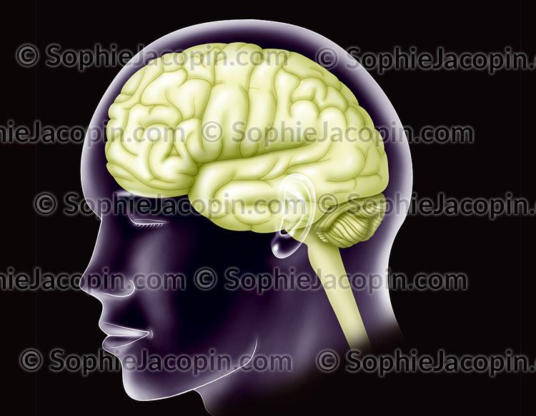 Hémisphère cérébral gauche