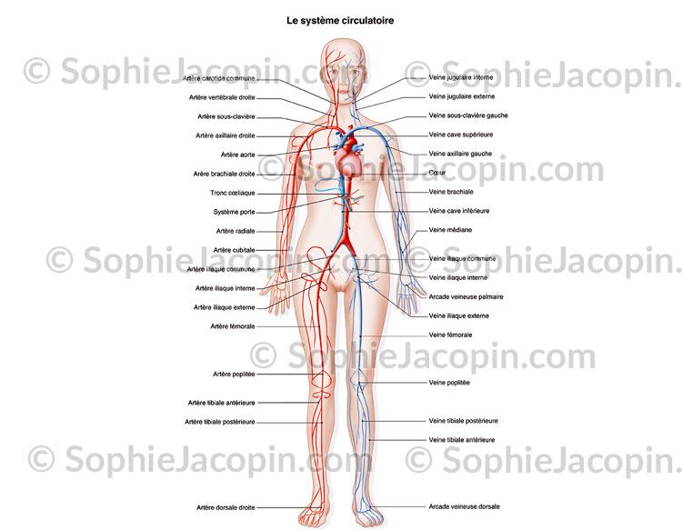 Système circulatoire femme