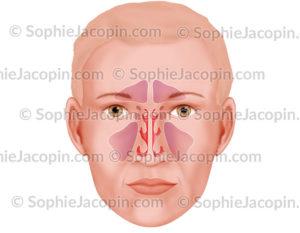 Sinus para-nasaux