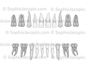 Odontogramme dents primaires
