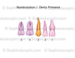 Dents primaires