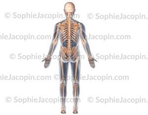 Squelette vue postérieure