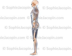 Squelette profil gauche, vue létéral du système de soutient chez l'homme - © sophie jacopin