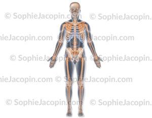 Squelette vue antérieure