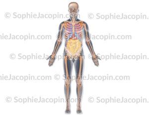 Organes thorax abdomen