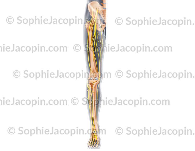 Nerfs antérieurs membre inférieur