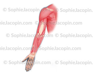 Muscles antérieurs du bras