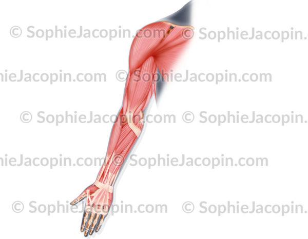 Muscles postérieurs du bras