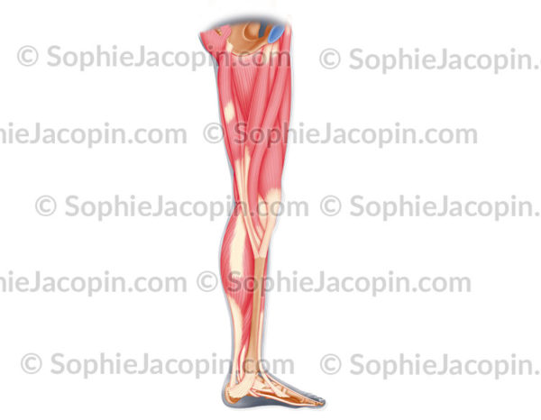 Muscles internes jambe