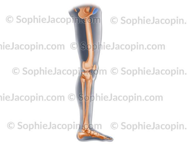 Squelette interne jambe