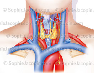 Larynx et thyroïde