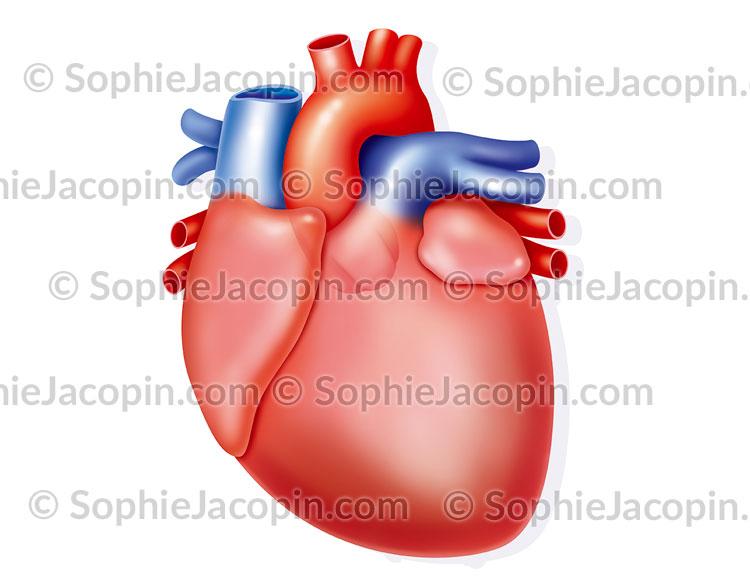 Cœur vue antérieure