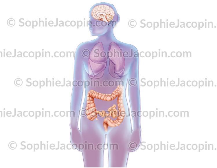 Sécrétion de sérotonine