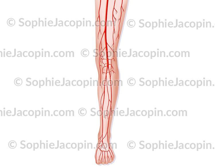 Artères du membre inférieur
