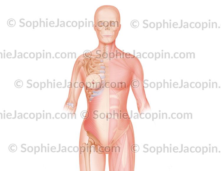 Muscles du tronc