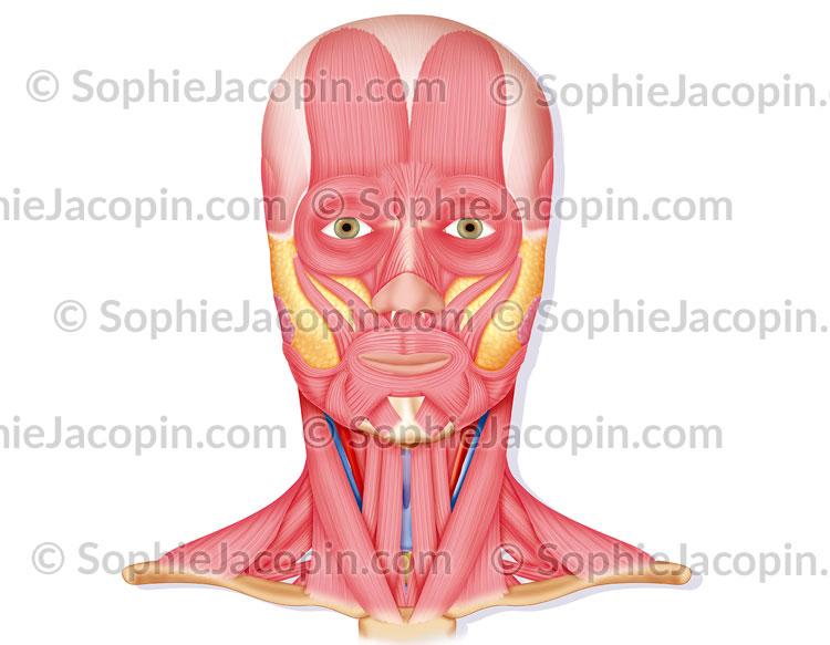 Muscles du visage et cou