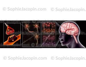 Synapse neurones cerveau