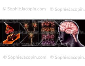 Cerveau neurones synapse