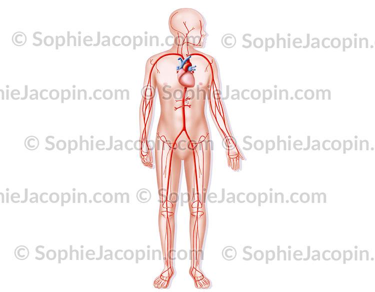 Système artériel