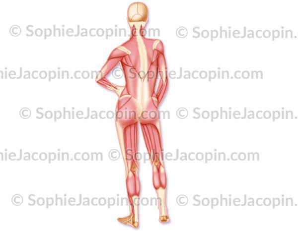 Muscles postérieurs