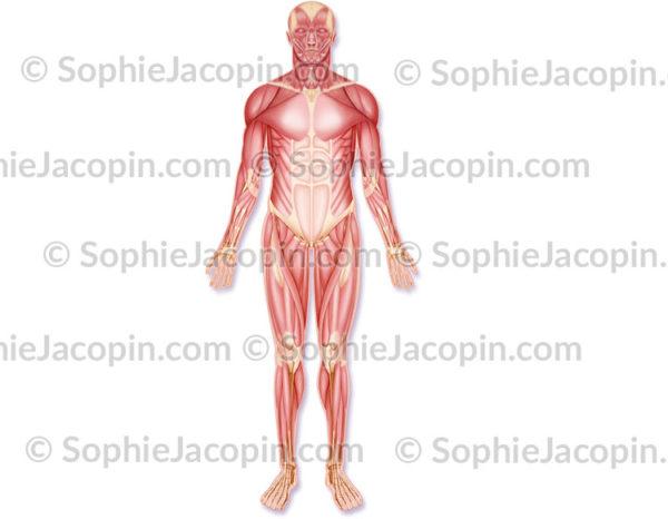 Muscles antérieurs