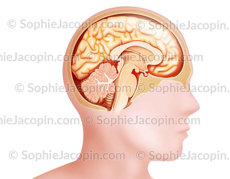 Coupe sagittale médiane du cerveau