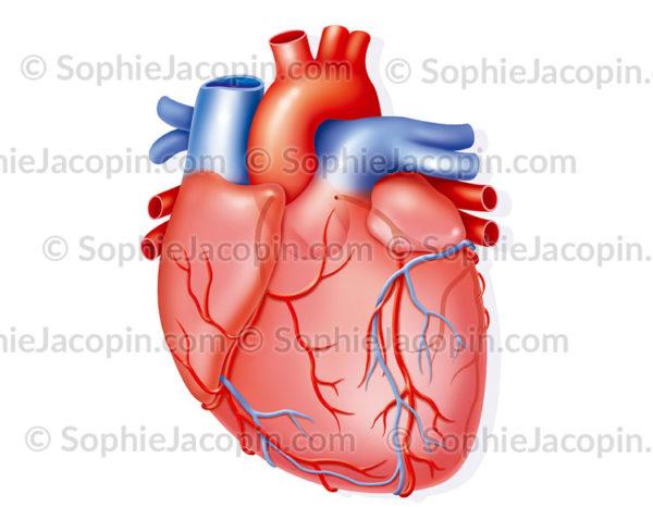 Vascularisation coronaire