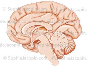 Coupe sagittale du cerveau