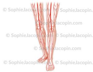 Vascularisation artérielle membres inférieurs