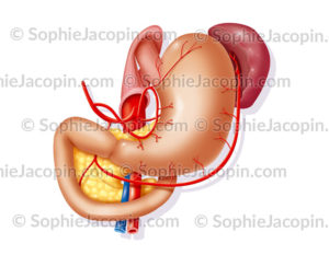 Vascularisation de l'estomac