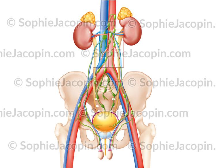 Lymphadénectomie