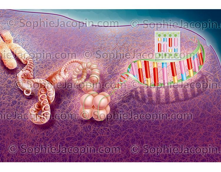Déroulement du chromosome
