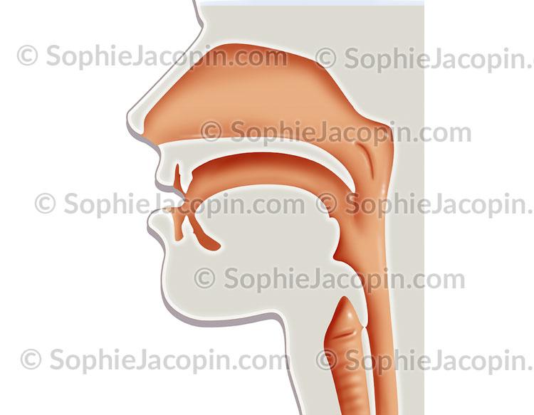 Rhinopharynx