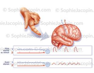 Stimulation sensorielle de la main et synchronisation au niveau du cerveau - © sophie jacopin