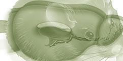 Anatomie - Animale - Rongeurs