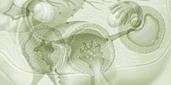 Anatomie - Appareil génital - Féminin / Ovaires