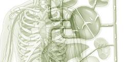 Anatomie - Générale - Système circulatoire
