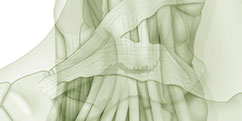 Anatomie - Membre inférieur - Cheville