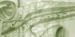Anatomie - Système endocrinien - Pancréas